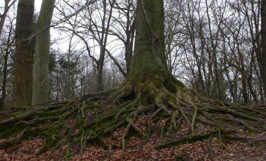 Der riesen Wurzelbaum