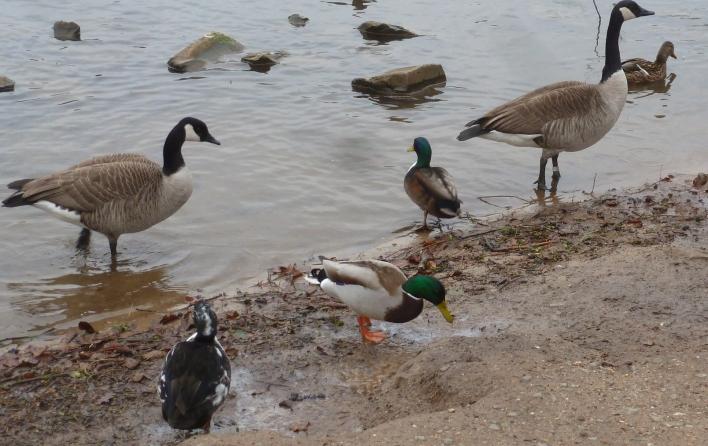 Die Enten und Gänse am See über wintern hier