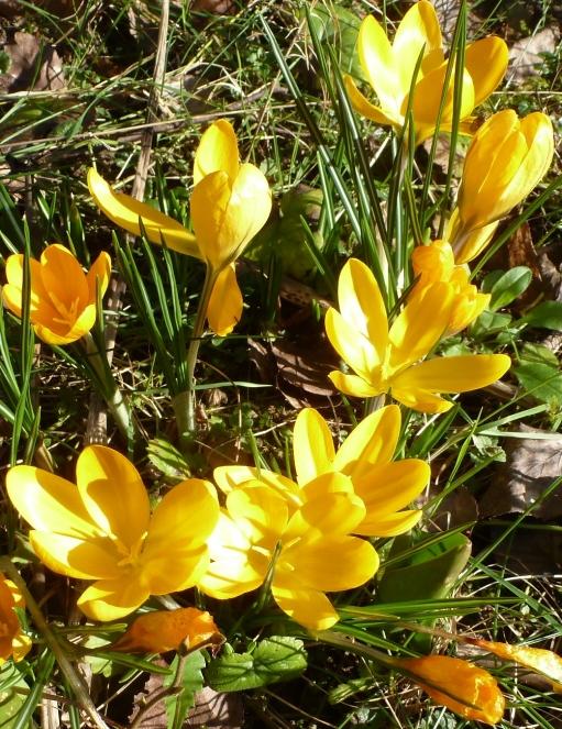 herrliche gelbe Krokusse einfach nur schön