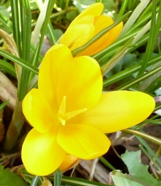 einzelne gelbe Krokusblüte