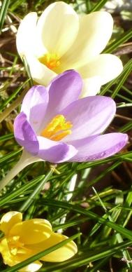 herrliche Krokussblüten