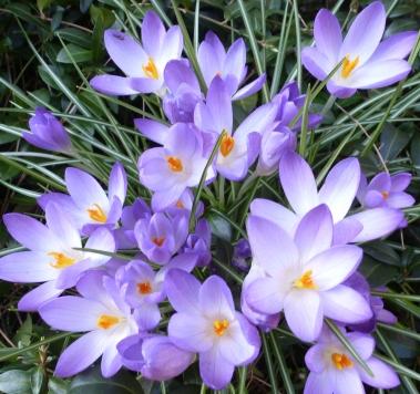 hellblaue Krokussblüten