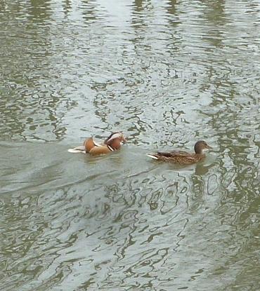 ein ungleiches Entenpaar