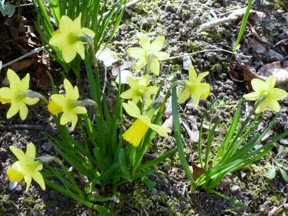 kleiner Osterglockenbusch