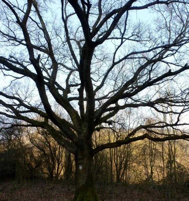 Ein sehr alter weit verzweigter Baum