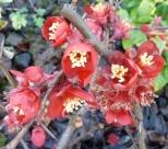 Buschwindröschenblüten