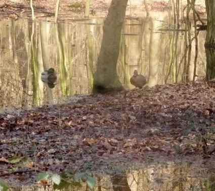 Überschwemmung im Wald mit Entenpaar