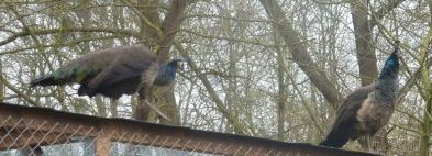 Pfauenpaar auf dem Waschbärengehege