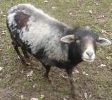Geflecktes Schaf
