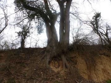 Alter Baum am Lehmhang