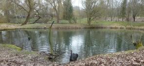 Schwan am Golfplatz Ahrweiler -Neuenahr