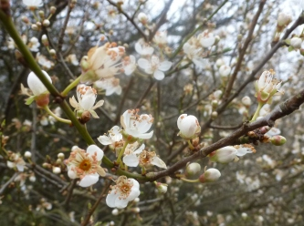 Mirabellenbuschblüten
