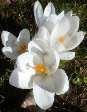 Weiße Krokusblüten