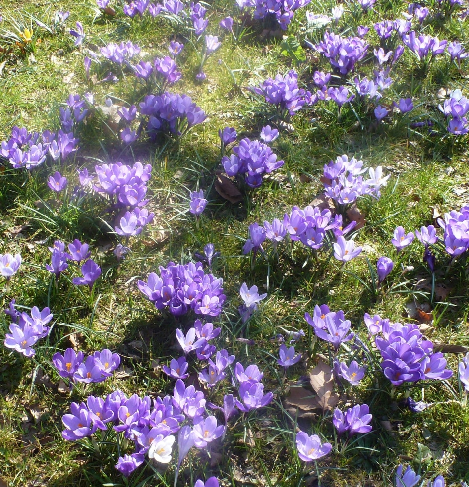 Blaue Krokesswiese