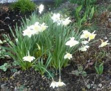 weiße Osterglocken