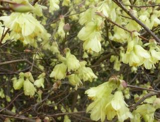 schöner Frühlingsblütenbusch