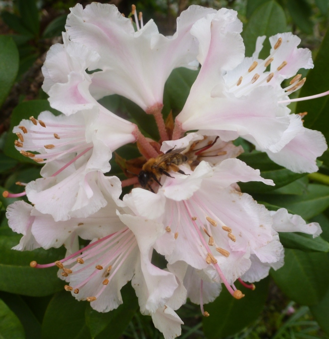 rosane Rhododendronblüte