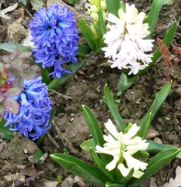 weiß-blaue Hyazinthen
