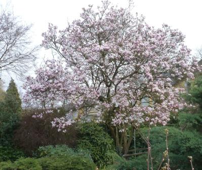 Magnolienblüten Baum