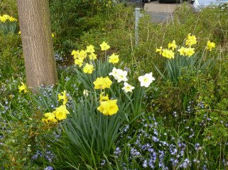 Narzissenblüten weiß und gelb