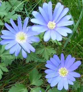 Kapaster auch blaue Aster genannt