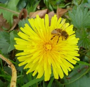 Löwenzahn mit Biene