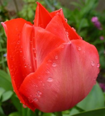 Die Königin der Tulpen