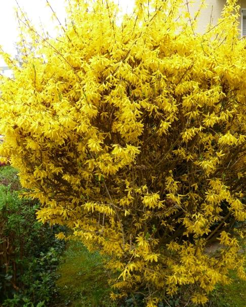 gelbe Forsythienbusch