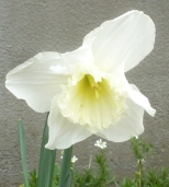 weiße Osterglocke
