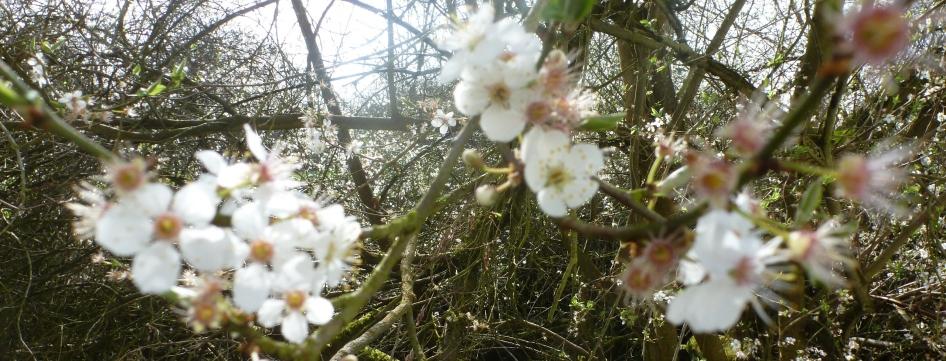 Wildkischblütenbaum