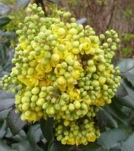 gelbe Mahonieblütenbusch