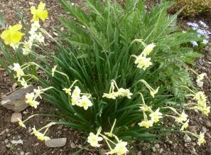 gelbe weiße Osterglocken