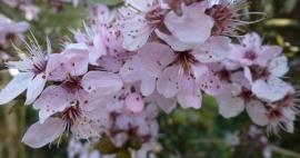 rosane Kirschblüten