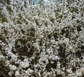 Kirschblütenbusch