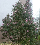 Röschenbusch