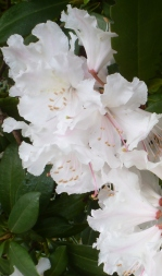 Rhododendronblüten