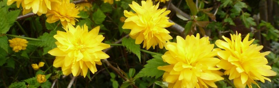 gelber Ranunkel-Strauch