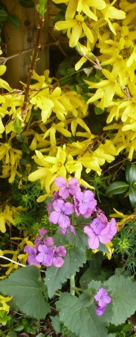 Forsythie und wilde Frühlingsblüten