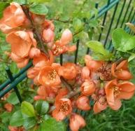 rote Frühlingsblüten