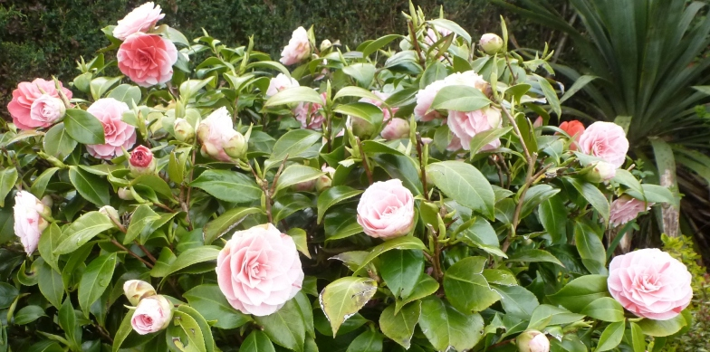 Rsenbuschblüten