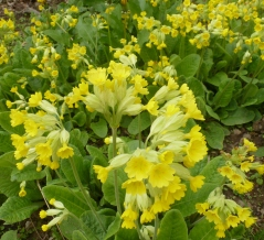 Die Frühlingsschlüsselblumen