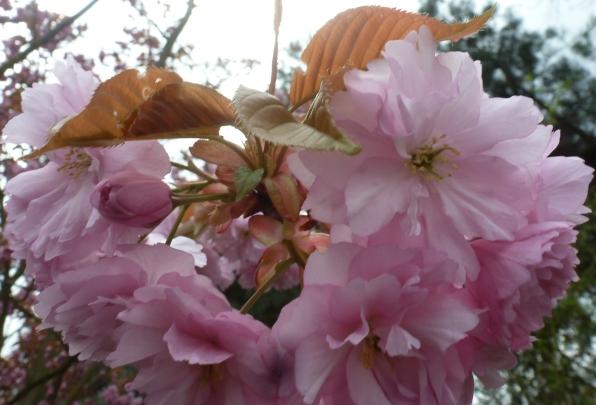 rosane Japanische Kirschblüten