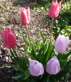 Viele Tulpenblüten