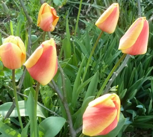 gelb -rote Tulpen