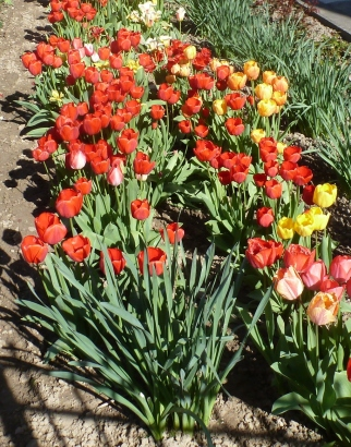 Tulpenbeet