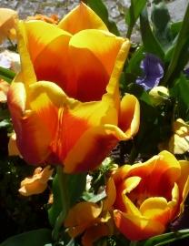 gelb-rosane Tulpen