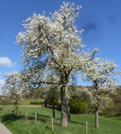 blühender Birnenbaum