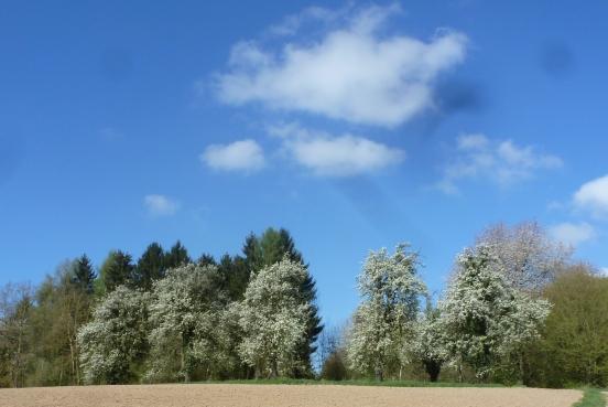blühende Birnenbäume