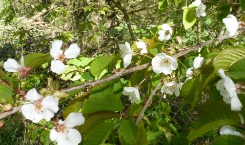 wilder Kirschblütenzweig