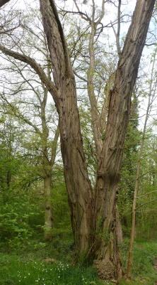 ein doppel Ahrhornbaum